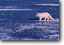 Stock photo. Caption: Arctic fox captive   on snow drifted ice Minnesota --   mammal mammals hunting hunter snow winter cold united states america fur bearing foxes foxs white animal animals captive cute cold american landscape landscapes