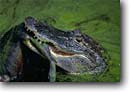 Stock photo. Caption: American alligator eating raccoon Hunting Island State Park Beaufort County South Carolina -- united deep south southern southeast southeastern states america  river rivers lowcountry  predation predators predator alligators jaws reptile reptiles animal animals carnivore carnivores gator gators mississippiensis swamp swamps