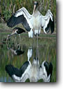 Stock photo. Caption: Immature wood stork and white ibis Fenwick Island ACE Basin Colleton County,  South Carolina -- bird birds storks south southern southeast southeastern united states   long legs behavior behaviour drying wings Mycteria americana Eudocimus albus wildlife storks ibises wetland wetlands habitat swamp swamps marsh marshes wading wadingbird wadingbirds