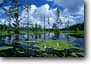 Stock photo. Caption: Fragrant water-lily and bald cypress Pond near White Hall ACE Basin Colleton County,  South Carolina -- peaceful united swamps trees deep south southern southestern states moody forest forests cypresses trunks trunk water habitat spring swamp swamps swampy wetland wetlands Taxodium distichum placid landscape landscapes lilies Nymphaea odorata wildflowers