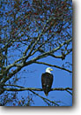 Stock photo. Caption: Bald eagle in gum tree Donnelley State Wildlife   Management Area,  ACE Basin Colleton County,  South Carolina -- bird birds south southern southeast southeastern united states eagles national emblem prey perched roosting wildlife Haliaeetus leucocephalus raptor raptors