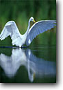 Stock photo. Caption: Great egret feeding Bear Island State Wildlife Management Area ACE Basin, South Carolina -- united america areas colleton county reflection reflections bird birds wading herons white pond lake south deep southeastern southeast southern states swamp swamps wildlife Ardea alba white egrets wading wadingbird wadingbirds