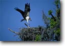 Stock photo. Caption: Osprey at nest Cuckhold Creek off the Combahee River ACE Basin Colleton County,  South Carolina --  bird birds south southern southeast southeastern united states wing wings nesting ospreys prey fish eating wildlife nests nesting wildlife Pandion haliaetus prey raptor raptors