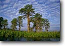 Stock photo. Caption: Bald cypress on the Combahee River Bluff Plantation ACE Basin Colleton County,  South Carolina -- peaceful united swamps trees deep south southern southestern states moody forest forests cypresses trunks trunk water habitat spring swamp swamps swampy wetland wetlands Taxodium distichum placid landscape landscapes estuarine estuary estuaries unspoiled