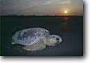 Stock photo. Caption: Loggerhead turtle returning to sea   after laying eggs Kiawah Island Charleston County,  South Carolina -- southeast southeastern united states america turtles endangered threatened species tenacity survivor courage tough life and death struggle baby juvenile tiny reptile reptiles animal animals wildlife caretta