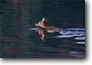 Stock photo. Caption: White tailed deer doe swimming   across Lake Jocassee Jocassee Gorges Wilderness Oconee County,  South Carolina -- southeast southeastern united states america behavior behaviour animal unusual animals mammal mammals wildlife Odocoileus virginianus