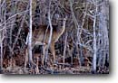 Stock photo. Caption: Whitetail deer Medway Plantation Cooper River watershed Berkeley County,  South Carolina -- southeast southeastern united states america animal mammal mammals camouflage camouflaged animals wildlife Odocoileus virginianus