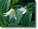 Stock photo. Caption: Avalanche lilies Hurricane Ridge Olympic National Park Olympic Peninsula, Washington -- lily wildflower wildflowers flowers detail details closeup closeups dew drop rain delicate drops dewdrop dewdrops united states america mountain mountains rainy erythronium montanum nod nodding