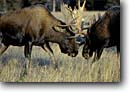 Stock photo. Caption: Bull moose Fight Yellowstone National Park Rocky Mountains Wyoming -- tourist attraction attractions united states america bull bulls aggresion parks rockies ungulate ungulates  fighting rutt rutting mating season dominance dominate sexual locking antler antlers animal animals mammals mammal wildlife alces