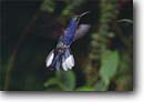 Stock photo. Caption: Violet sabrewing hummingbird Monteverde Cloud Forest Reserve North-Central Highlands Alajuela Province, Costa Rica -- Rainforest central america tropical  ecotourism cloudforest cloudforests forests hummingbirds bird birds reserves wildlife Campylopterus hemileucurus beating wing wings landscape landscapes latin american animal animals portrait portraits flight flying