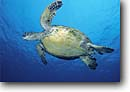 Stock photo. Caption: Green sea turtle, Cocos Island Cocos Island National Marine Park Puntarenas Province, Costa Rica Eastern Pacific Ocean -- Chelonia mydas turtles underwater islands scuba diving dive tropical oceans parks central america world heritage site sites animal animals wildlife sealife saltwater photogtraphy reptile reptiles