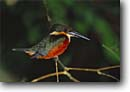 Stock photo. Caption: Green and rufous kingfisher Tortuguero National Park Atlantic Coast Limon Province, Costa Rica -- kingfishers bird birds tropical parks diving fish eating central america province parks wildlife Chloroceryle inda central america latin american forest colorful colourful