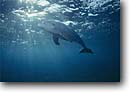 Stock photo. Caption: Bottlenose dolphin Lighthouse Reef Caribbean Sea Belize -- tursiops truncatus dolphins marine mammal mammals shafts of light scenic scenics central america scuba diving animal animals cetacea cetacean cetaceans  underwater photography saltwater sealife