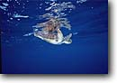 Stock photo. Caption: Hawksbill sea turtle Little Cayman Island Cayman Islands Caribbean -- turtles underwater scuba diving tropical oceans parks united states america eretmochelys imbricata swimming animal animals sealife saltwater reptile reptiles primal swimming swimmer swim