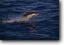 Stock photo. Caption: Common dolphins   near Isla Catalan Baja California Mexico -- dolphin leap leaping jumping jump pacific ocean mexican waters cetacean mammal mammals wildlife playful playing friendly flipper ocean oceans inhabitant inhabitants bow chasing Delphinus delphis marine animal animals latin