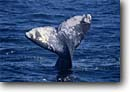 Stock photo. Caption: Gray whale Magdalena Bay Baja California Mexico -- whales mexican tail tails grey migration migrating breeding grounds calving cetacean mammal mammals  wildlife cetacea cetacean cetaceans grey ocean oceans Eschrichtius robustus baleen marine animal animals latin american america