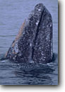 Stock photo. Caption: Gray whale La Entrada,  Magdalena Bay Baja California Mexico -- Keywords: whales mexican grey migration migrating breeding grounds calving spyhop spyhopping cetacean mammal mammals  wildlife cetacea cetacean cetaceans grey ocean oceans Eschrichtius robustus baleen marine animal animals latin american america