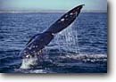 Stock photo. Caption: Gray whale Laguna San Ignacio Baja California Mexico -- Keywords: whales mexican tail tails grey migration migrating breeding grounds calving cetacean mammal mammals  wildlife cetacea cetacean cetaceans grey sunny clear blue sky skies ocean oceans Eschrichtius robustus baleen marine animal animals latin american america