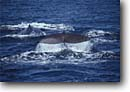 Stock photo. Caption: Sperm whale Gulf of California Baja California Mexico -- whales mexican tail tails largest cetacean mammal mammals wildlife ocean oceans large Physeter macrocephalus toothed marine animal animals latin american america