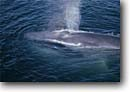 Stock photo. Caption: Blue whale Sea of Cortez Baja California Mexico -- whales mexican cetacean mammal mammals blow blowing blow hole Balaenoptera musculus marine spout spouting spouts wildlife animal animals latin american america