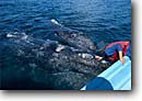 Stock photo. Caption: Gray whale San Ignacio Lagoon Baja California Mexico --   marine mammal mammals parks north pacific oceans oceans migration whales migrations  eschrichtius robustus curiosity human interaction tourist destination destinations touching touch animal animals people wildlife cetacea cetacean cetaceans grey
