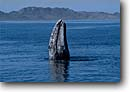 Stock photo. Caption: Gray whale Magdalena Bay Baja California Mexico --   scenic scenics marine mammal mammals parks north pacific oceans oceans migration whales migrations breach breaching head lunge eschrichtius robustus curiosity animal animals wildlife cetacea cetacean cetaceans grey