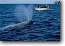 Stock photo. Caption: Gray whale Magdalena Bay Baja California Mexico -- scenic scenics marine mammal mammals  pacific oceans oceans migration whales migrations head grey eschrichtius robustus curiosity blow blowhole blowholes people boat boats tourists destination destination animal animals wildlife cetacea cetacean cetacean