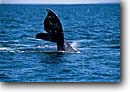 Stock photo. Caption: Gray whale Magdalena Bay Baja California Eastern Pacific Ocean,  Mexico --   eschrichtius robustus scenic scenics marine mammal mammals pacific oceans oceans  migration migrations tail tails sounding dive diving animal animals wildlife cetacea cetacean cetaceans grey