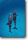 Stock photo. Caption: Atlantic spotted dolphins (Stenella frontalis) Bahama Banks Bahamas -- Keywords: fish tropical underwater scuba diving closeup closeups fishes school schools ocean oceans atlantic dolphin pod group blue water north playful creature sea creature animal animals mammals mammal two duet artistic nature frontalis saltwater