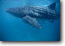 Stock photo. Caption: Whale shark (Rhincodon typus) Ningaloo Reef Australia -- Keywords: tropical underwater scuba diving closeup closeups ocean oceans blue water creature sea creature animal animals mammals mammal whales docile large spotted filter feeding australian saltwater marine mammal mammals fish fishes