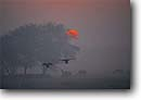Stock photo. Caption: Ducks and Sambar at sunrise Keoladeo Ghana National Park Bharatpur, Rajasthan India -- Keywords: international travels travel trip trips vacation vacations history historical indian tourist destination destinations attraction attractions asia asian animals animal duck deer parks protected wildlife wild artistic nature waterfowl