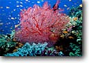 Stock photo. Caption: Sea fan   and fairy basslets Vanua Levu Barrier Reef Fiji, Indo-Pacific -- Pseudanthias Dendronephyton south  reefs fish corals school schooling vibrant colors fishes underwater scene scenic scenics scuba diving caves recesses tropical tropics sealife saltwater photography exotic abundant abundance stunning fans