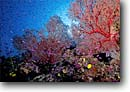 Stock photo. Caption: Sea fan and fairy basslets Vanua Levu Barrier Reef Fiji, Indo-Pacific -- south reefs fish corals school schooling vibrant colors fishes underwater scene scenic scenics scuba diving caves recesses tropical tropics sealife saltwater photography exotic abundant abundance stunning fans Subergorgia Pseudanthias