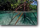 Stock photo. Caption: Red mangrove Gau Island Fiji Indo-Pacific --   mangrove sheltering nursery nursuries islands ocean oceans swamp swamps underwater split image images scenie scenic scenics clear  clean clarity Rhizophora mangle ecology