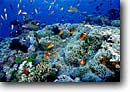 Stock photo. Caption: Tomatoe anemonefish & sunset wrasse Namena Barrier Reef Fiji Indo-Pacific -- Amphiprion frenatus Thalassoma lutescens   abundant abundance south coral corals reefs underwater scene scenic fish fishes sun school schooling scuba diving scenics south tropical ocean exotic abundance abundant swimming