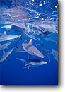 Stock photo. Caption: Gray reef sharks (Carcharhinus amblyrhynchos) Bikini Atoll Marshall Islands,  Indo-Pacific -- Keywords: tropical underwater scuba diving closeup closeups school schools ocean oceans group blue water creature sea creature animal animals mammals mammal shark predator predators saltwater