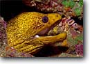 Stock photo. Caption: Golden moray (Gymnothorax miliaris) Nuku Hiva,  Marquesa Islands South Pacific Ocean -- underwater scuba tropical dive site sites destinations destination diving detail details closeup closeups coral reef reefs south pacific oceans gymnothorax miliaris stenpus hispidus eels shrimps crustacean crustaceans sealife saltwater photography