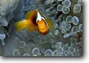 Stock photo. Caption: White-bonnet anemonefish D