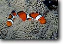 Stock photo. Caption: Clown anemonefish D