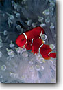 Stock photo. Caption: Spine-cheek anemonefish D