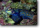 Stock photo. Caption: Mandarinfish D