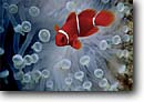 Stock photo. Caption: Spine-cheek anemonefish and  tenatcles of host anemone D