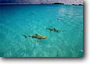 Stock photo. Caption: Blacktip reef shark Rangiroa Atoll Tuamotu Archipelago French Polynesia South Pacific Ocean -- Carchartinus melanopterus sharks fish fishes ocean evolution trust predator predators frighten frightening beach beaches island islands people tourist tropical diving destinations travel destinations secluded beach lagoons atolls