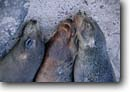 Stock photo. Caption: Galapagos fur seal Santa Fe Galapagos Islands Ecuador --  tourist tropics destination destinations travel world heritage site sites seals animal animals ecuadorian south america american Arctocephalus galapagoensis three trio friends pals sisters fur bearing marine mammals mammal latin