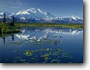 Stock photo. Caption: Yellow pond lilies, tundra pond and Mount McKinley  Denali National Park Alaska Range, Alaska -- united states america snow peak peaks mountain water lily arctic ponds parks glaciers mountains capped summer dramatic majestic breathtaking tall landscape landscapes north quiet serene scenic reflection reflections taiga