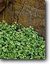 Stock photo. Caption: White watercress Aravaipa Canyon Wilderness Sonoran Desert Arizona -- deserts spring southwest southwestern  canyons united states america wildernesses bureau land management resource area areas flowers Nasturtium officinale wildflower wildflowers detail details closeup closeups native endemic