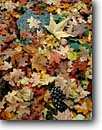 Stock photo. Caption: Bigtooth maple & Arizona sycamore leaves South Fork Cave Creek Canyon Chiracahua Wilderness Chiracahua Mountains,  Arizona -- united states america fall autumn leaf texture elegant elegance details detail falling form style background backgrounds forest floor floors leafs design designs pattern patterns mosaic mosaics artistic nature coronado National Forest