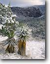 Stock photo. Caption: Mountain yucca and Organ Pipe Rocks Bonita Canyon Chiricahua National Monument Chiricahua Mountains, Arizona -- snow snowfall fresh welded tuft canyons monuments yuccas winter wintery landscape landscapes united states america southwest southwestern cold