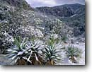 Stock photo. Caption: Mtn. yucca & Organ Pipe Rocks Bonita Canyon Chiricahua National Monument Chiricahua Mountains, Arizona -- snow snowfall fresh welded tuft canyons monuments yuccas winter wintery landscape landscapes united states america southwest southwestern pristine clarity