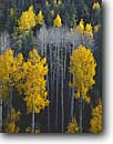 Stock photo. Caption: Aspens in Long Canyon White Mountains Apache National Forest Colorado Plateau,  Arizona -- fall autumn leaves tree trees forest united states america aspen backroad backroads pattern patterns contrast contrasting colors fresh color seasonal change changes deciduous spruce spruces trunk trunks